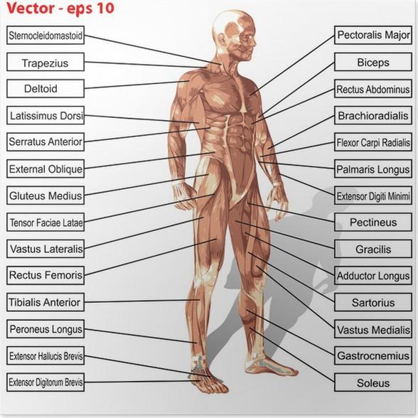 Poster Vector menschlichen Anatomie Mann mit Muskeln Text • Pixers ...