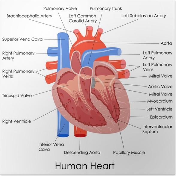 Fein Anatomie Des Menschlichen Herzens Fotos - Anatomie Von ...