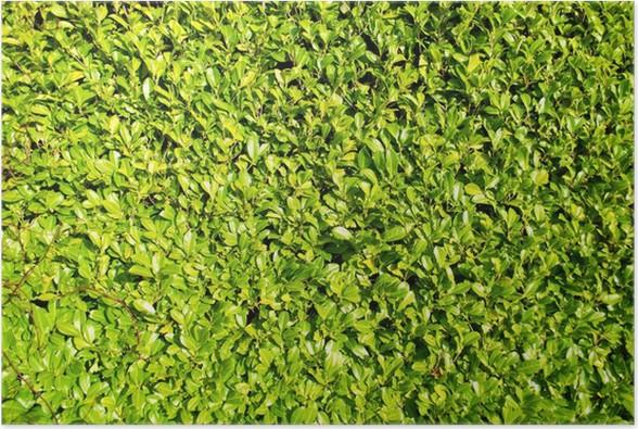 Poster Verde Siepe Di Alloro Bush, Paesaggio