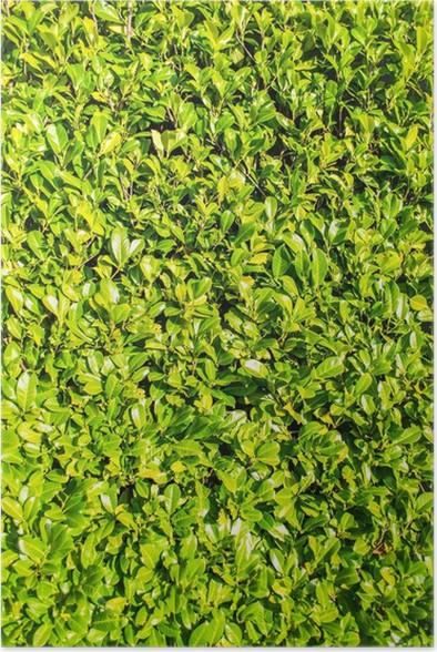 Poster Verde Siepe Di Alloro Bush, Ritratto