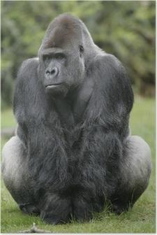 Poster Westliche Flachlandgorilla, Gorilla gorilla