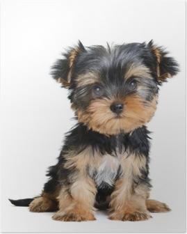 Poster Yorkshire Terrier