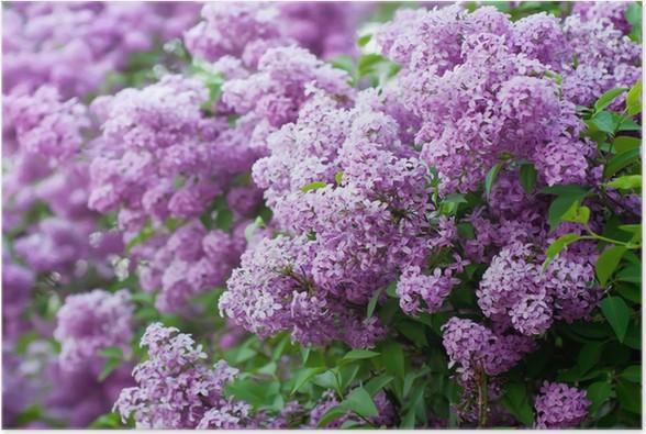 Poster Zweig der lila Blumen - Fröhlichkeit
