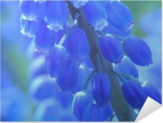 Póster Autoadesivo blue pearl hyacinth
