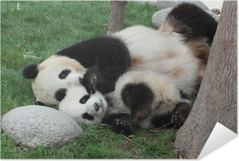 Póster Autoadesivo Giant panda with its cub Sleeping on the grass