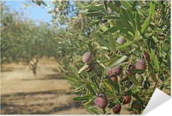 Póster Autoadesivo Olive grove in Greece
