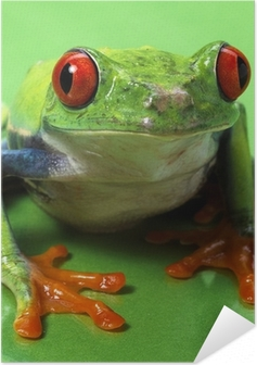 Póster Autoadesivo red eyed treefrog macro isolated exotic frog curious animal brig