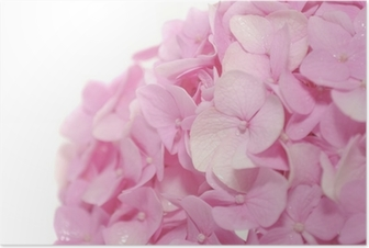 Póster Beautiful Pink Hydrangea Flowers on White Background