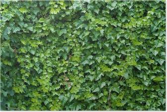 Póster Climbing ivy background.