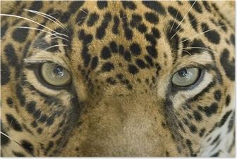Póster close up the eyes of a beautiful jaguar or panthera onca