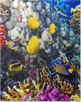 Póster Coral and fish in the Red Sea. Egypt