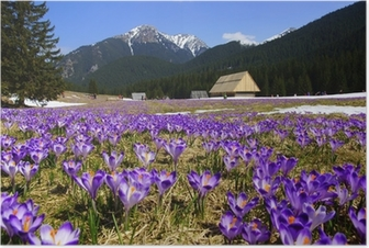 Póster Crocuses in Chocholowska valley, Tatras Mountain, Poland