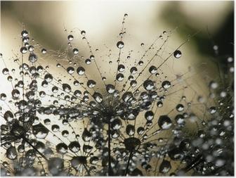Póster Dandelion seed wet