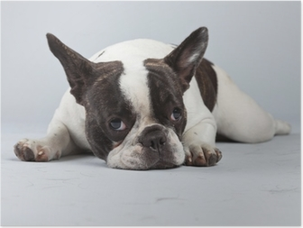 Póster French bulldog black and white isolated against grey background.