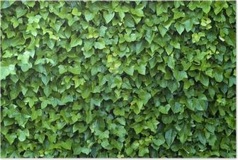 Póster ivy wall