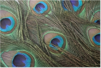 Póster peacock feathers