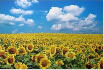 Póster sunflower field