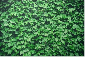 Póster Thick green ivy leaves background