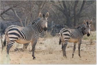 Póster Vaca e Kitten - Hartmann zebra de montanha