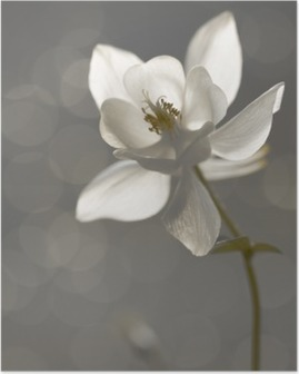 Póster Weiße Akelei (Aquilegia) - Trauerkarte