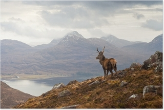 Póster Wild stag, Scottish highlands