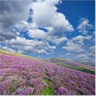 Poster Mor heather çiçeklerle kaplı renkli tepenin yamacında