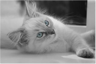Poster 15 semaines ragdoll chaton âgé