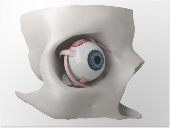 3d eye anatomy model Poster • Pixers® • We live to change