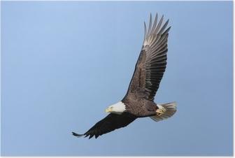 Adult Bald Eagle (haliaeetus leucocephalus) in flight against Poster
