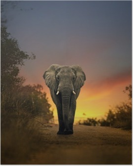 african elephant walking in sunset Poster