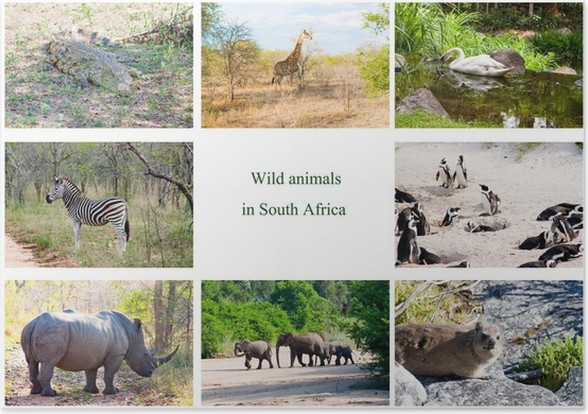 African Wild Animals Collage South Africa Poster