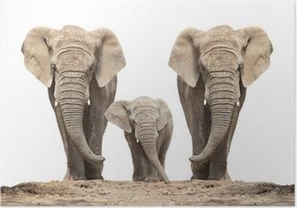 Poster Afrikansk elefant (Loxodonta africana) familj på en vit.