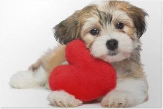 Poster Amoureux Valentine Havanais chiot avec un coeur rouge