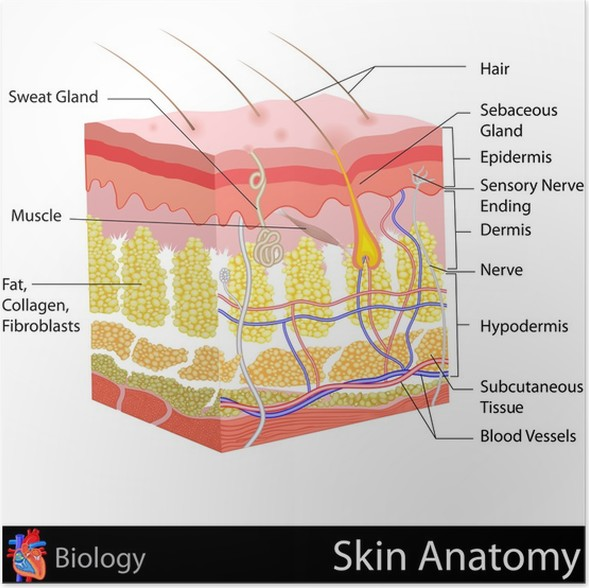 Póster Anatomía de la piel • Pixers® - Vivimos para cambiar