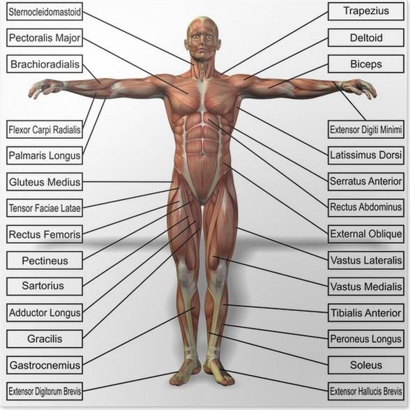 Póster Anatomía del hombre humano 3D con texto músculos • Pixers ...