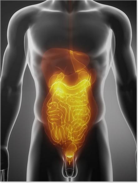 Poster Anatomie de l\'abdomen • Pixers® - Nous vivons pour changer