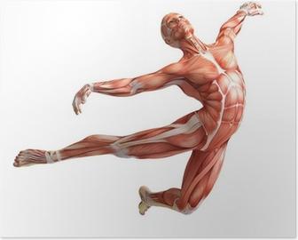 Poster Anatomie, spieren