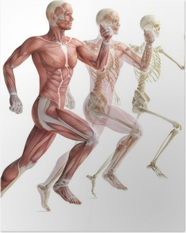 anatomy, muscles Poster