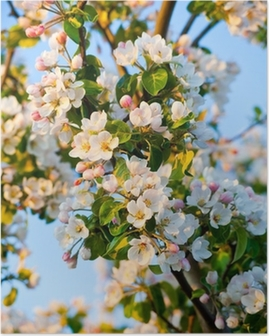 Apple tree blossom Poster