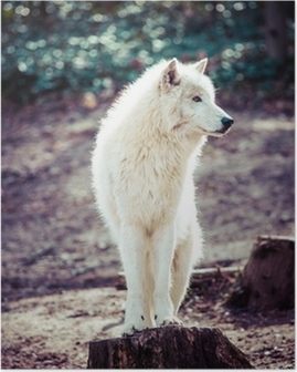 Arctic white wolf Poster