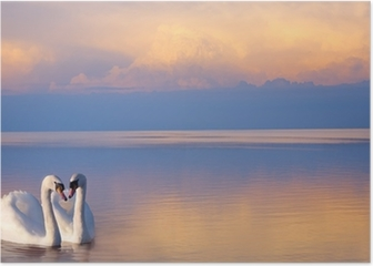 art beautiful Two white swans on a lake Poster