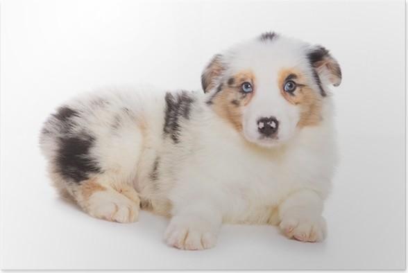 Poster Australian Shepherd puppy geïsoleerd op wit - Zoogdieren