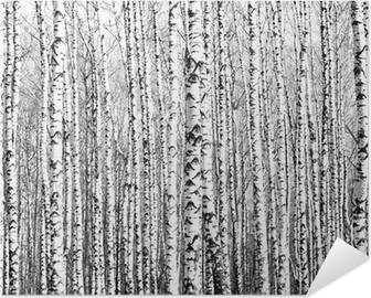 Póster Autoadhesivo Troncos de primavera de los árboles de abedul blanco y negro