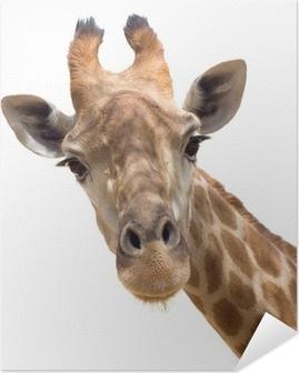 Poster autocollant Giraffe close-up