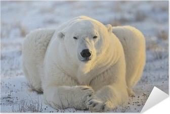 Poster autocollant L'ours polaire se trouvant à la toundra.