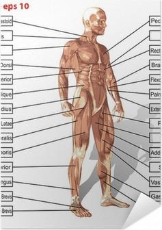 Poster autocollant Vecteur homme anatomie humaine avec le texte de muscles