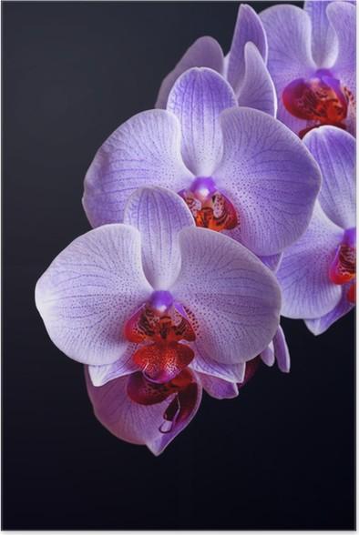 Poster Azules Flores De La Orquidea En Negro Pixers Vivimos