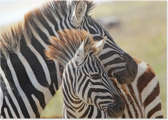 Baby zebra with mother Poster