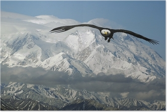 bald eagle in mountains Poster
