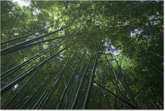 Bamboo Forest on Maui Poster